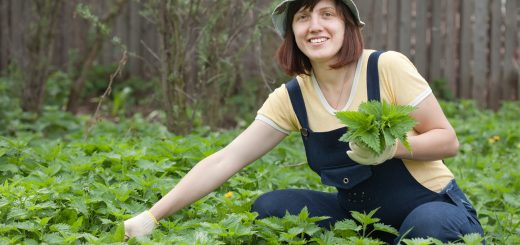 Csalán tea készítése - friss csalánlevelek szedése