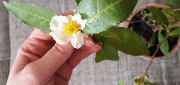 Tea cserje és virága.